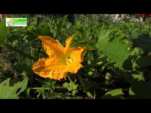 ORTO BIOLOGICO: ZUCCHINE